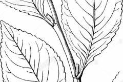Sketch-of-Khat-plant