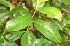 Tender-leaves-of-Khat-plant