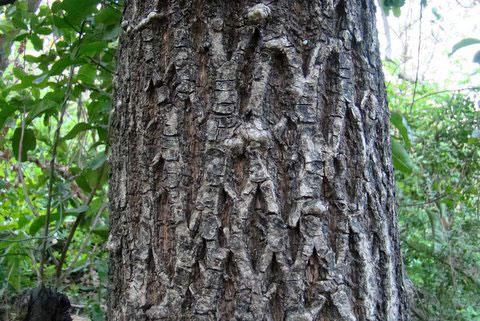 Bark-of-Khirni