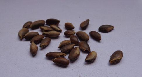 Seeds-of-Khirni