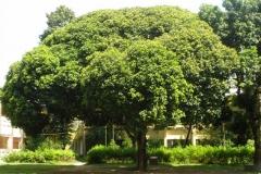 Khirni-Tree