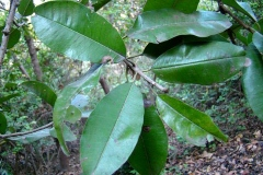 Leaves-of-Khirni