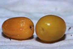 Mature-fruits-of-Khirni
