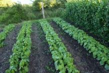 Kidney-beans-farm