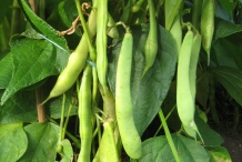 Pods-of-Kidney-beans