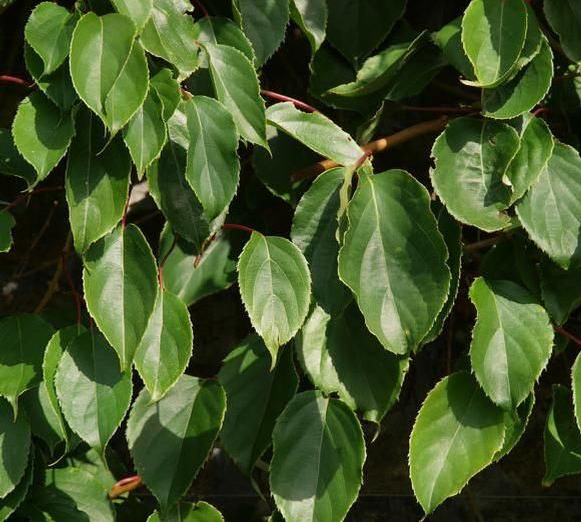 Leaves-of-Kiwi-berry