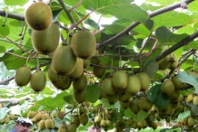 Kiwifruit-in-the-vine