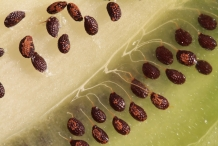 Kiwifruit-seeds