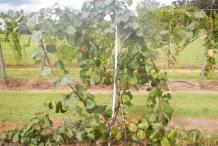 Kiwifruit-vine