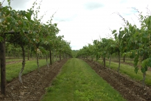 Kiwifruit-farm