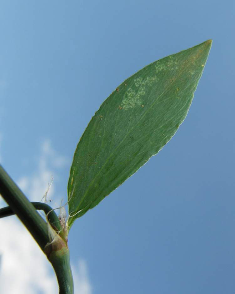 Leaf-of-Knotgrass-plant