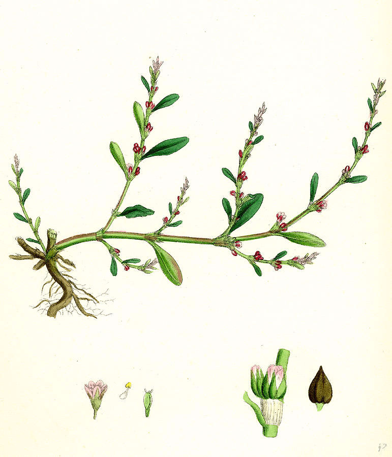 Plant-illustration-of-Knotgrass