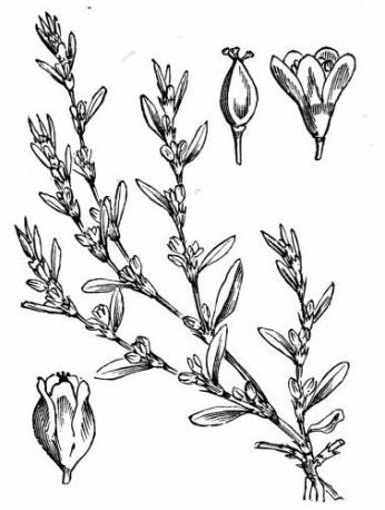 Sketch-of-Knotgrass-plant