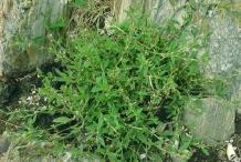 Knotgrass-Plant-growing-wild