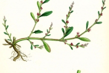 Plant-illustration-of-Knotgrass