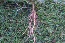 Root-of-Knotgrass-plant