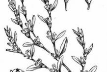Sketch-of-Knotgrass-plant