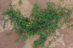 Knotgrass-plant