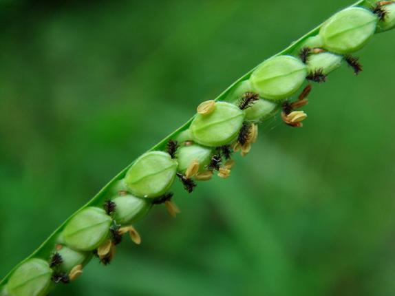Closer-view-of-unripe-Kodo-Millet
