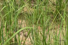 Kodo-Millet-farming