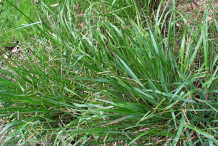 Kodo-Millet-plant