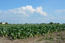 Kohlrabi-farm