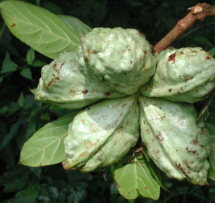 Kola-nut-fruit