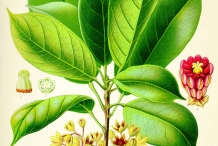 Plant-illustration-of-Kola-nut