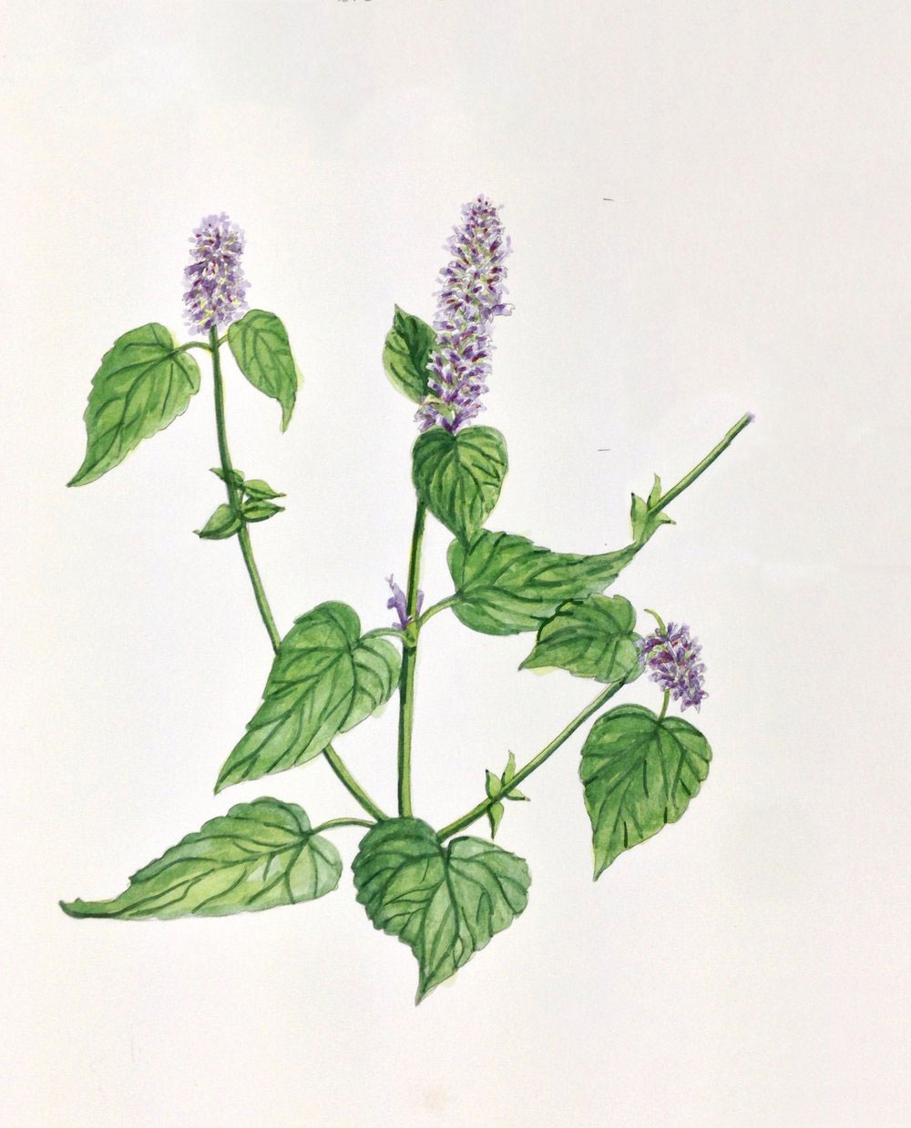 Plant-illustration-of-Korean-Mint