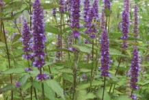 Korean-Mint-plant-growing-wild