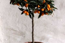 Kumquats-fruit-on-the-plant