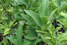 Kumquats-leaves
