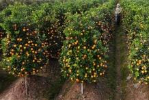 Kumquats-farm