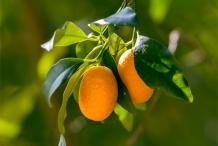 Kumquats-ripened