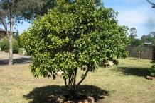 Kumquats-tree