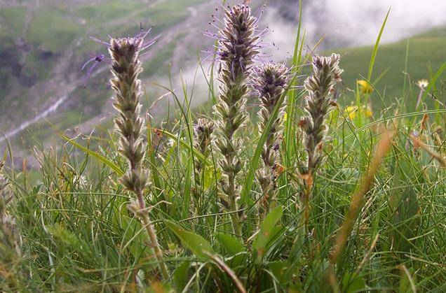 Kutki-growing-wild