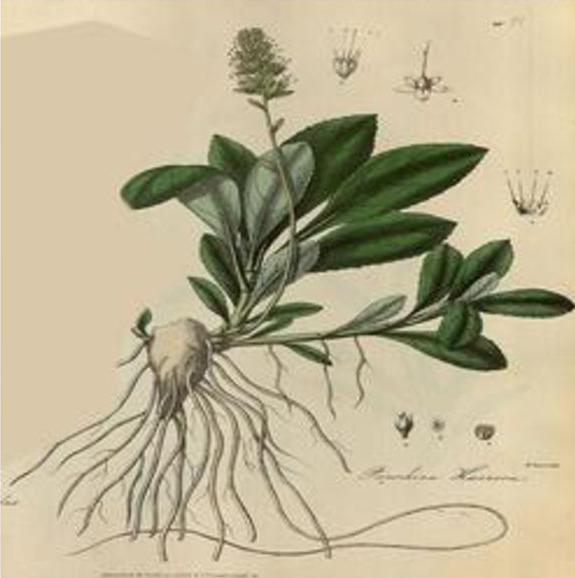 Plant-Illustration-of-Kutki