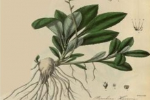 Plant-Illustration-of-Kutki