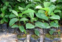 Small-Kwai-Muk-plant