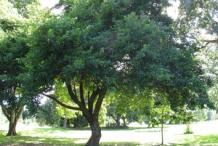 Kwai-Muk-Tree
