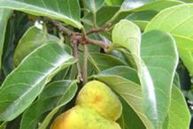 Ripe-Kwai-Muk-fruit-on-the-tree