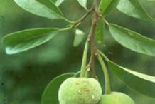 Unripe-Kwai-Muk-fruit