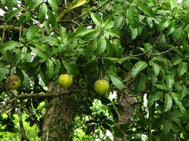 Close-up-of-a-kwini-tree