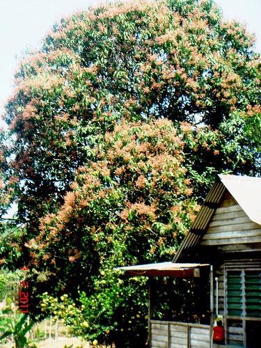Kwini-tree