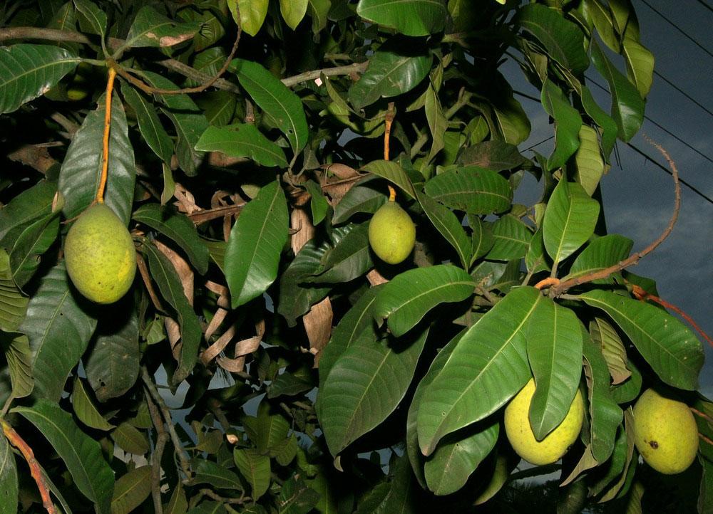 Leaves-of-Kwini-Mango