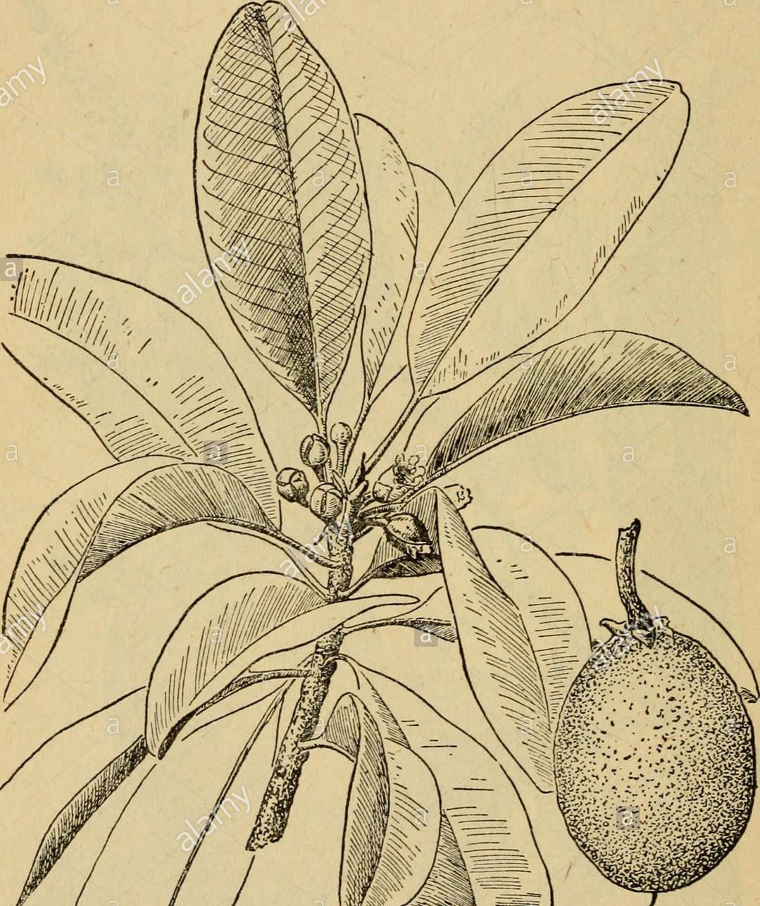 Sketch-of-Kwini-Mango