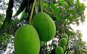 Unripe-Kwini-Mango-on-the-tree