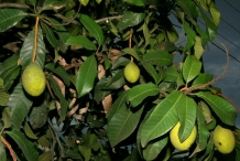 Leaves-of-Kwini-Mango