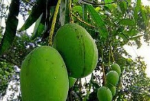 Unripe-Kwini-Mango-on-the-tree