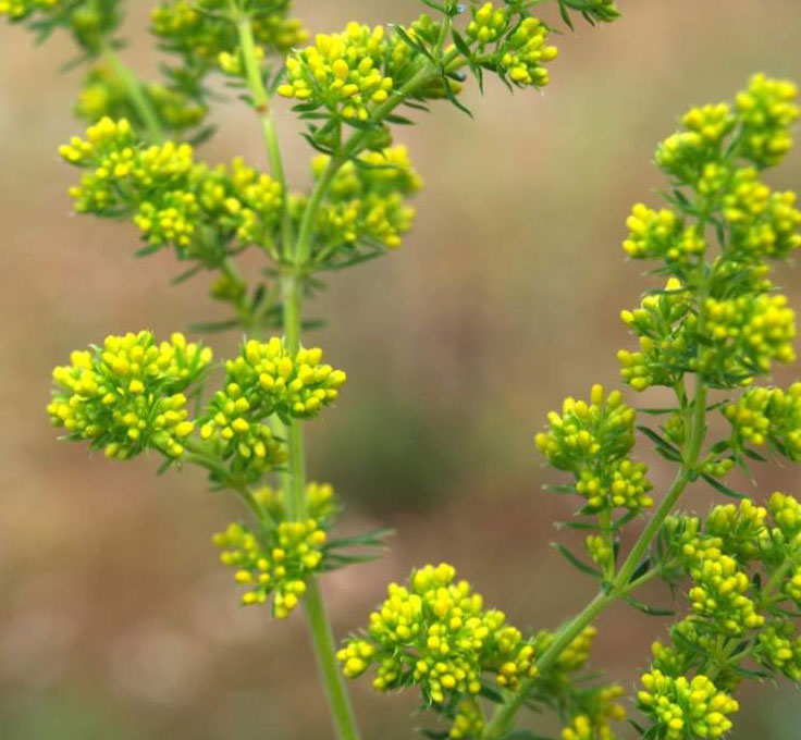 Flowering-buds-of-Ladys-bedstraw